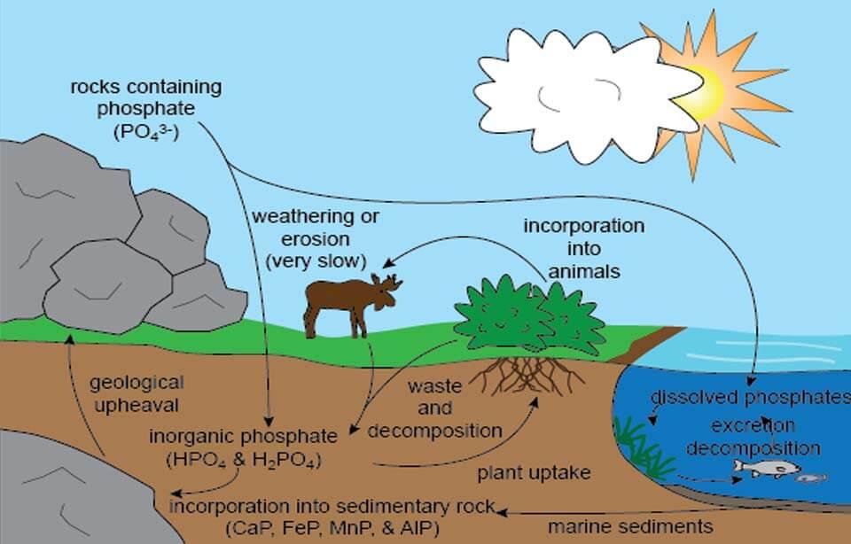 Penjelasan Siklus Fosfor Singkat Pengertian Manfaat Dan Tahapannya